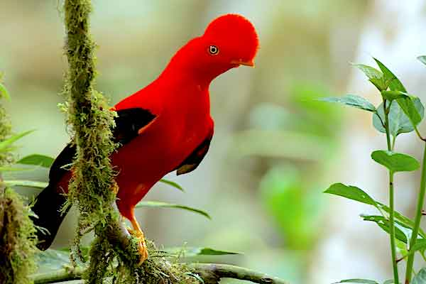 Birding Tour To Machu Picchu